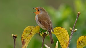 The UK's favourite bird is the Robin, which is Bowen's bird of the day.